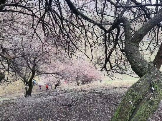 游吐尔根观杏花