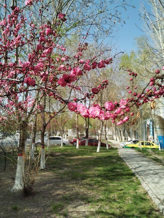 乌鲁木齐市河滩春末林带俏