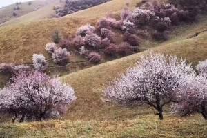 北疆伊犁吐尔根野杏花游