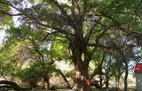 新疆阿克苏天山神木园