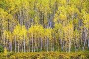 新疆阿勒泰哈巴河白桦林景区