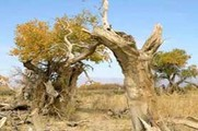 新疆木垒胡杨林公园