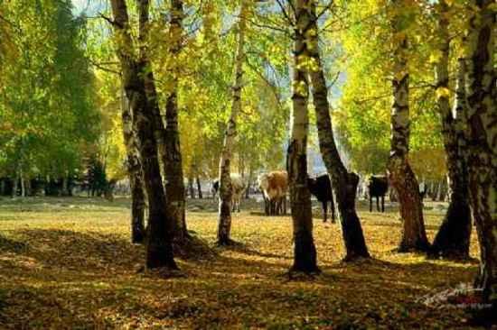 """美丽的禾木镇-中国北方的""""香格里拉""""(多图),图五"""