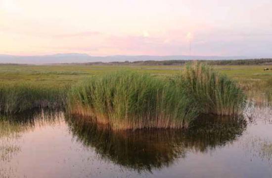 哈巴河:金色芦苇荡,图三