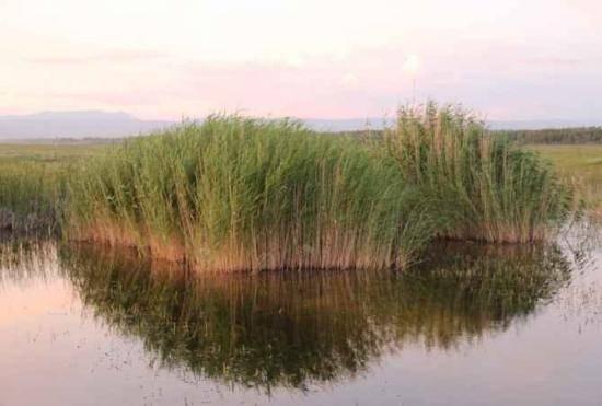 哈巴河:金色芦苇荡,图六