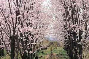 戈壁明珠石河子賞桃花一日游
