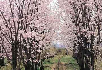 戈壁明珠石河子赏桃花一日游