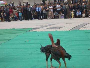 有趣的斗鸡