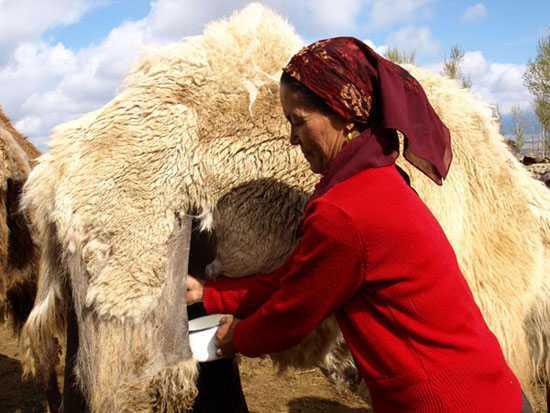 新疆骆驼奶,图八