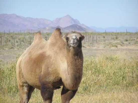 新疆骆驼奶,图九