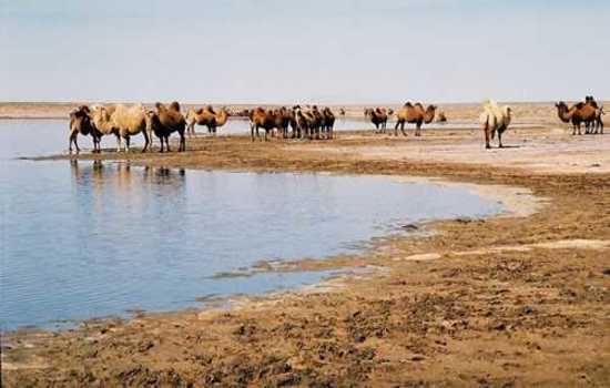 新疆骆驼奶,图七
