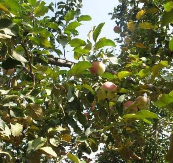 新疆野苹果