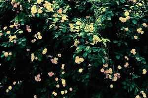 新疆野蔷薇
